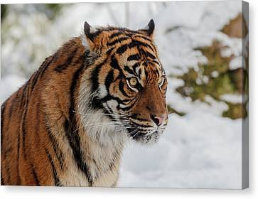 Tiger Canvas Print - Sumatran Tiger In The Snow by Tim Abeln