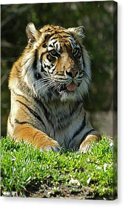 Sumatran Tiger Canvas Print