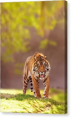 Sumatran Tiger Walking Forward Canvas Print by Susan Schmitz