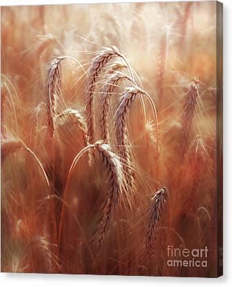 Summer Corn Canvas Print by Agnieszka Mlicka