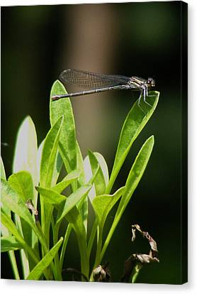 Canvas Print featuring the photograph Summer Damselfly by Margie Avellino