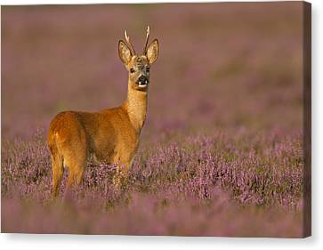 Summer Evening Roe Deer Canvas Print by Andy Luberti