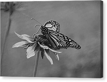 Invertebrates Canvas Print - Summer Floral With Monarch Butterfly 04 Bw by Thomas Woolworth