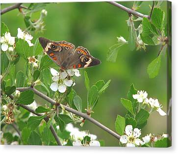 Canvas Print featuring the photograph Summer Haw In Spring by Peg Urban