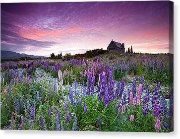 Summer Lupins At Sunrise At Lake Tekapo, Nz Canvas Print