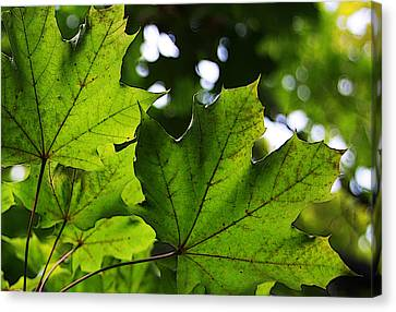 Summer Maple Leaves Canvas Print by Joanne Coyle