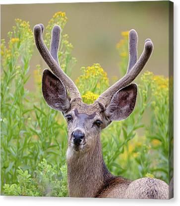 Summer Mule Deer Canvas Print by Jack Bell