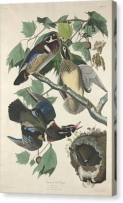 Summer Or Wood Duck Canvas Print by Rob Dreyer