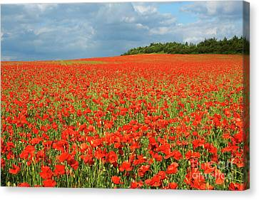 Summer Poppies In England Canvas Print by David Birchall