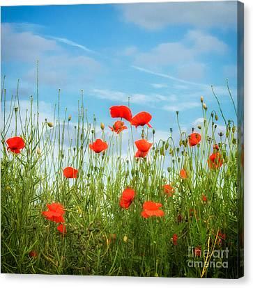 Summer Poppies Canvas Print by Janet Burdon