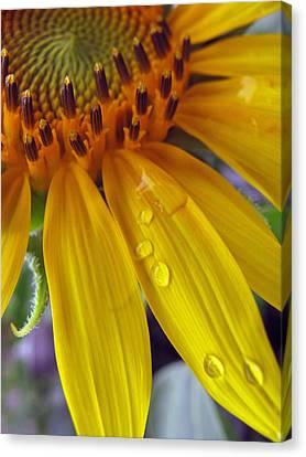 Summer Rain On Sunflower Canvas Print by Barbara McDevitt