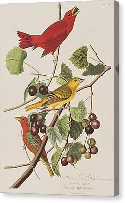 Summer Red Bird Canvas Print by John James Audubon