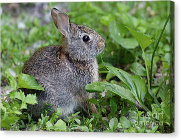 Canvas Print - Summer Refuge Bunny by Natural Focal Point Photography