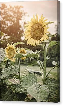 Summer Sun Canvas Print by Heather Applegate