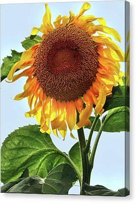 Summer Sunflower Canvas Print by Mikki Cucuzzo