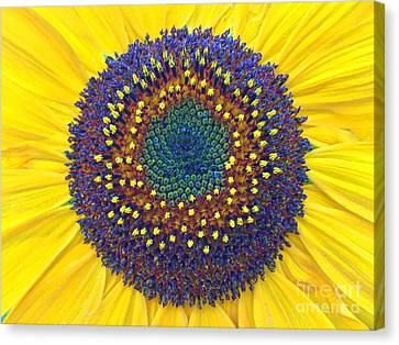 Summer Sunflower Canvas Print by Todd Breitling