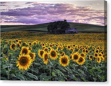 Farming Barns Canvas Print - Summertime Sunflowers by Mark Kiver
