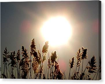 Sun And Grass 2  Canvas Print by Lyle Crump