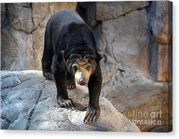 Sun Bear Canvas Print by Jeannie Burleson