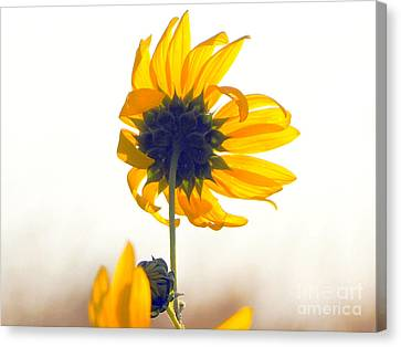 Sun Flower 101 Canvas Print
