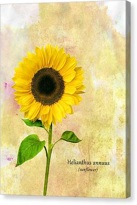Sun Flower Canvas Print by Mark Rogan