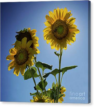 Sun Flowers Canvas Print by Brian Jones