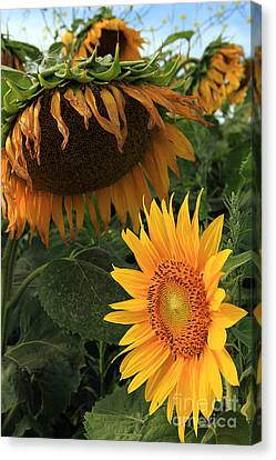 Sun Flowers  Past  And  Present  Canvas Print by Paula Guttilla