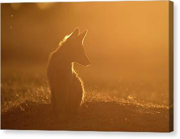 Sun Gazing Fox Canvas Print