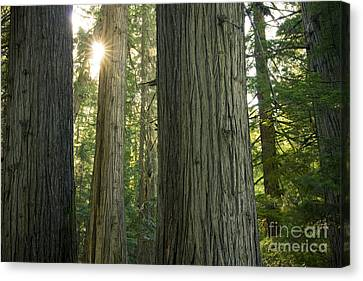 Sun In The Cedars Canvas Print by Idaho Scenic Images Linda Lantzy