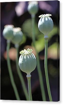 Sun Kissed Poppy Pods Canvas Print