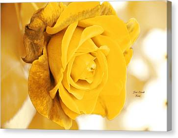 Canvas Print featuring the photograph Sun Kissed Rose by Athala Carole Bruckner