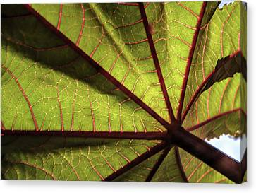 Sun Light Reveals Venation Of Leaf Canvas Print by Douglas Barnett