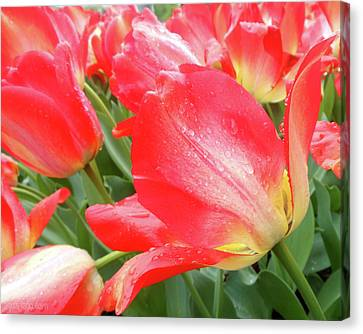 Sun Lights Tulips After Spring Rain Canvas Print