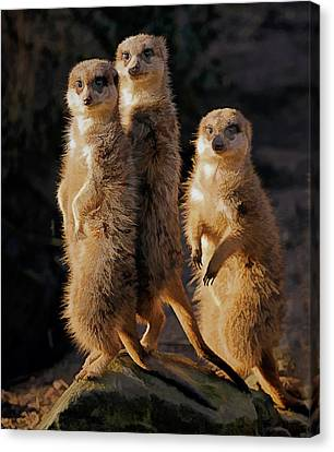 Sun Setting On The Meerkat Trio Canvas Print by Elaine Plesser