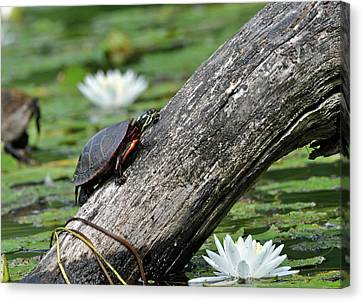 Canvas Print featuring the photograph Turtle Sunbathing by Glenn Gordon