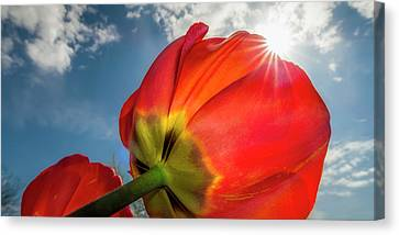 Canvas Print featuring the photograph Sunbeams And Tulips by Adam Romanowicz