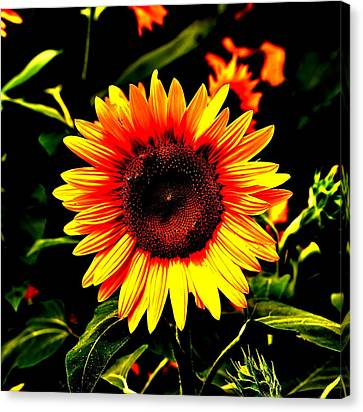 Sunburst Of The Sunflower Canvas Print by Marc Mesa