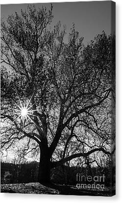Sunburst Through The Branches Canvas Print by David March