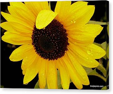Sundrops Canvas Print by Lois Lepisto