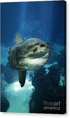 Sunfish Mola Mola Canvas Print by Gerard Lacz