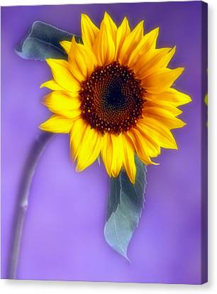 Sunflower 1 Canvas Print by Joseph Gerges