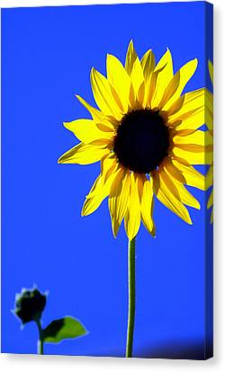 Sunflower 2 Canvas Print by Marty Koch