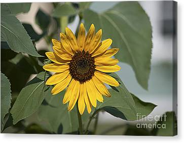 Sunflower 20120718_06a Canvas Print