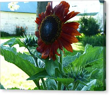 Sunflower 2015 0 Canvas Print by Tina M Wenger