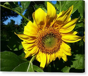 Sunflower 2015 13 Canvas Print by Tina M Wenger
