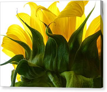 Sunflower 2015 2 Canvas Print by Tina M Wenger