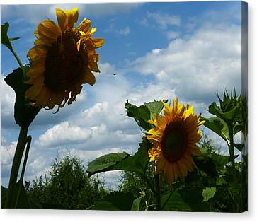 Sunflower 2015 7 Canvas Print by Tina M Wenger