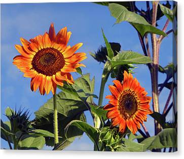 Sunflower 2016 1 Of 5 Canvas Print by Tina M Wenger