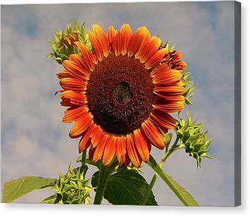 Sunflower 2016 2 Of 5 Canvas Print by Tina M Wenger