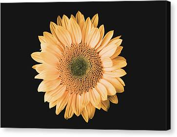 Sunflower #6 Canvas Print